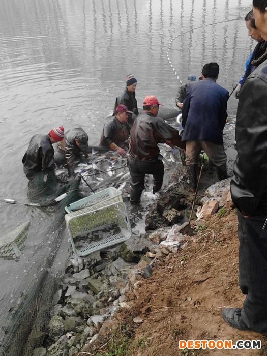 鲜活水产品绿导水产养殖场供应北京鲫鱼丶北京鲤鱼等各种淡水鱼类,规格齐全