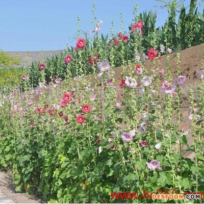 供应 酒泉蓝翔园艺 多年生蜀葵 花卉种子批发 厂家直销 多年生蜀葵 花卉种子  宿根花卉种子 混色、单色