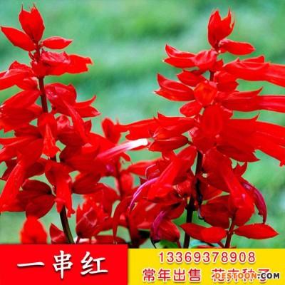 酒泉花卉种子 矮串红直销一串红种子 爆仗红花卉种子