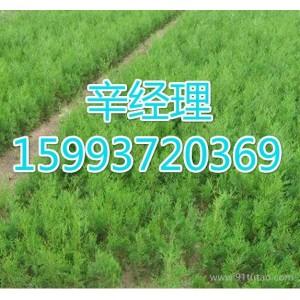 济源求购速生杨/苗木基地159-9372-0369【艺林苗木】