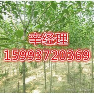 新郑求购合欢苗木基地159-9372-0369【艺林苗木】
