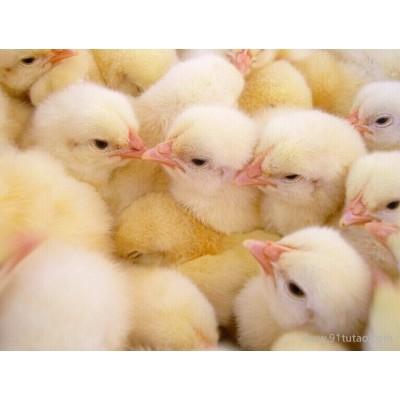 供应大顺禽业土鸡苗 三黄鸡苗、三黄鸡、广州鸡苗、优质鸡苗