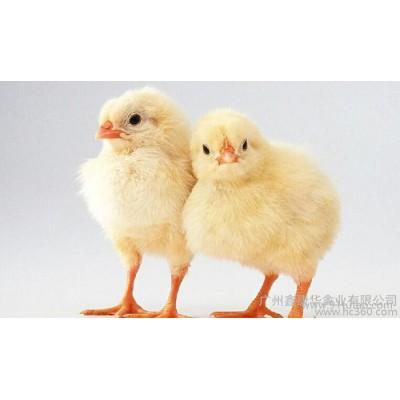 供应大顺禽业优质鸡苗、三黄鸡苗、鸡苗