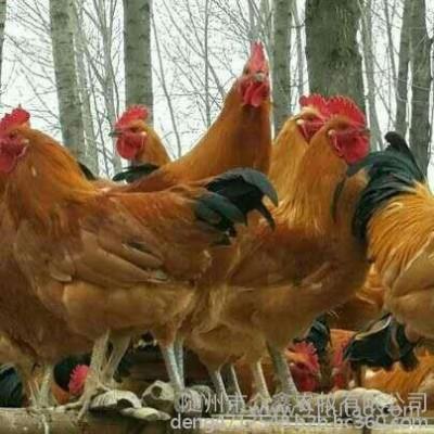 哪有土鸡苗 湖北众鑫禽苗专业供应细高脚、黄麻羽土鸡苗 小鸡鸡苗