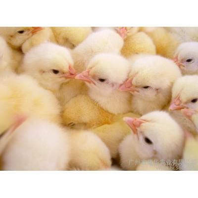 供应大顺禽业三黄鸡苗、鸡苗、鸡苗厂家