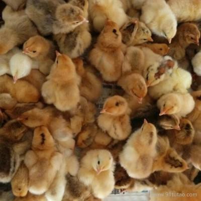 众鑫禽苗供应湖北土鸡苗、随州土鸡苗、安徽土鸡苗、四川鸡苗价格、高产蛋鸡苗批发