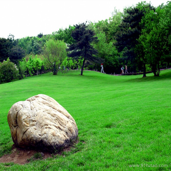 草坪 草坪种子 护坡草坪种子