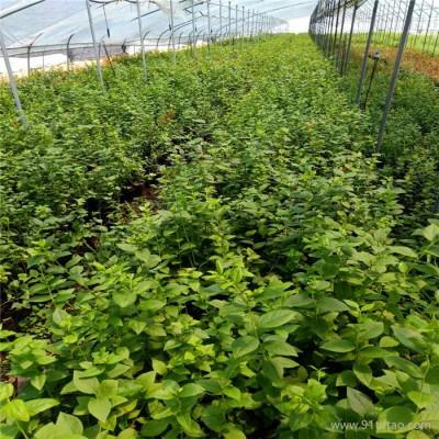 德盛蓝莓苗木_大型蓝莓苗木基地_出售各品种蓝莓苗木_矮丛蓝莓苗木直销