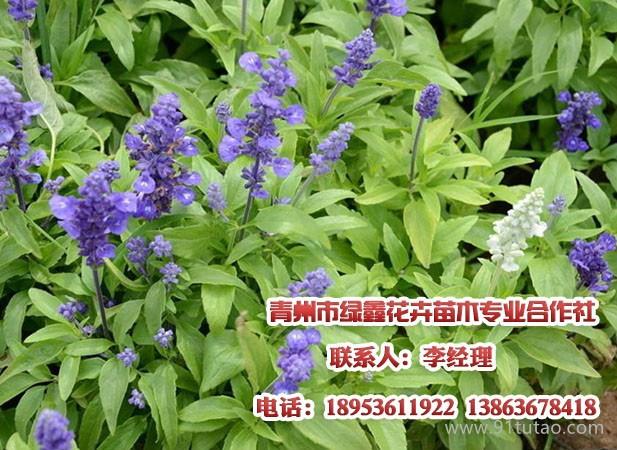 租赁植物,蜀葵批发,请到青州绿鑫
