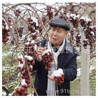 土地流转葡萄苗赔本出售 品种全 质量高 价格优18315487451