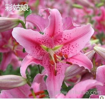 百合种球 香水百合种球多头百合观赏花卉 百合种球