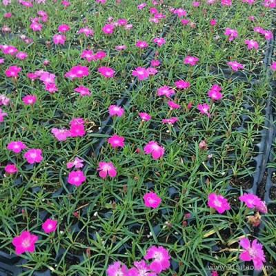 洪业  园林工程  绿化园林  花园苗圃  观赏花卉 名贵花种