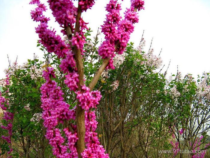 工程绿化树苗 紫荆树苗 满条红苗庭院观赏花卉 规格齐全