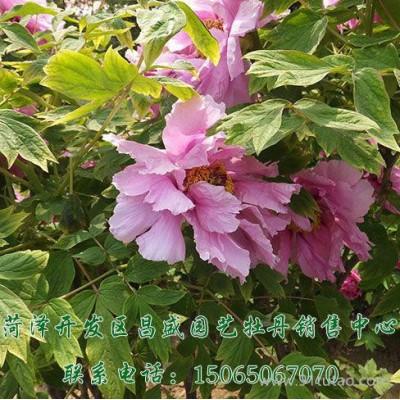 昌盛园艺观赏花卉 牡丹花苗园林绿化  电话议价