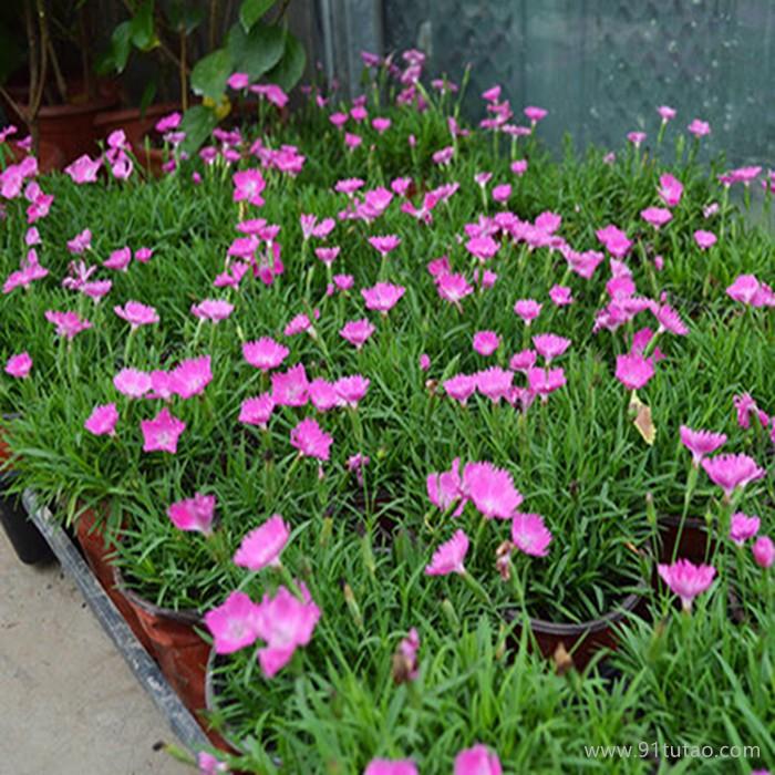 【紫欣雅】 欧石竹 观赏花卉 观赏植被 合作社 直销