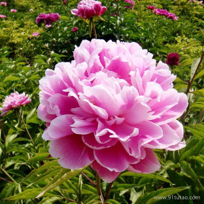 洪业 芍药 花园苗圃  草花基地  名贵花草  绿化园林  观赏花卉 花卉幼苗
