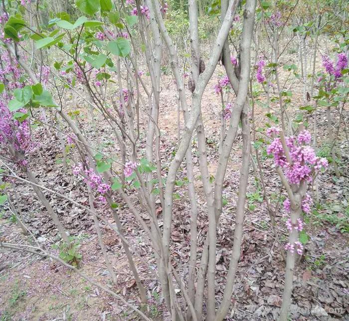 批量出售绿化工程用紫荆苗 庭院观赏花卉紫荆树苗 欢迎实地看苗