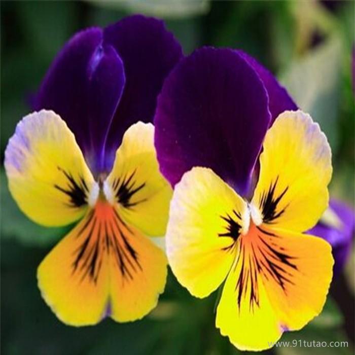 洪业  三色堇  三色堇植株  名贵花卉  观赏花种  花园绿化植株