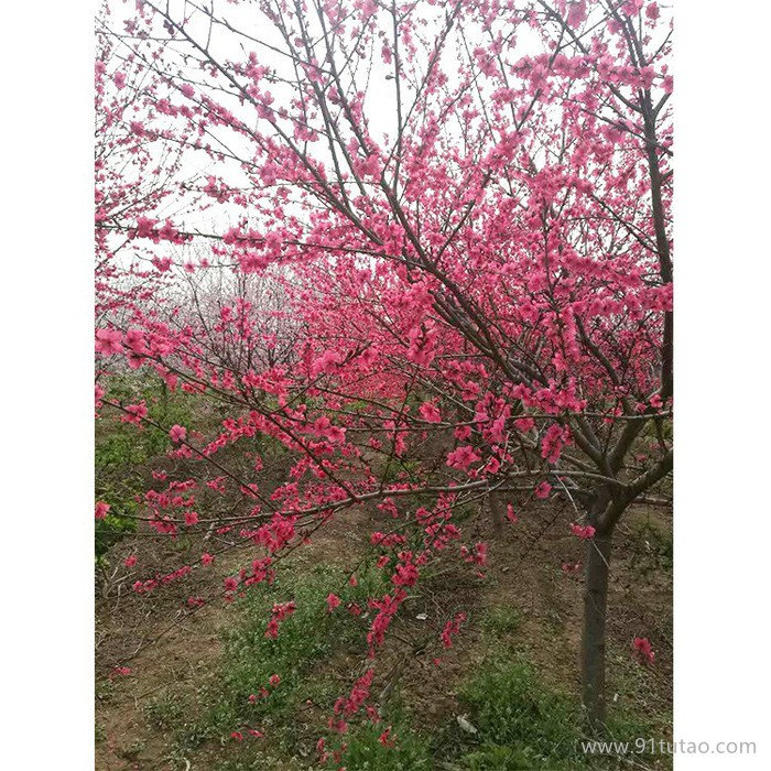 【天正贸易】红叶桃 园林绿化苗木 大量工程绿化苗木观赏花木-绿化苗木-红叶桃