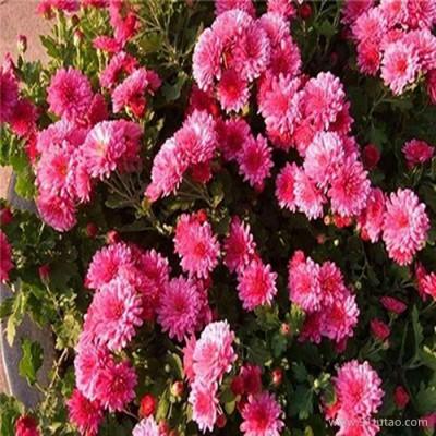 【紫欣雅】 地被菊 观赏植被 观赏花卉 园林花卉