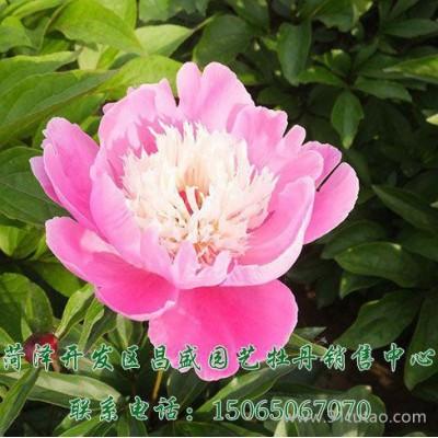 昌盛园艺供应 观赏花卉 芍药苗 电话议价
