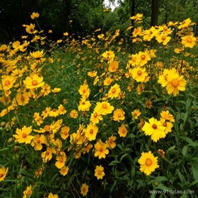 【紫欣雅】金鸡菊 观赏花卉