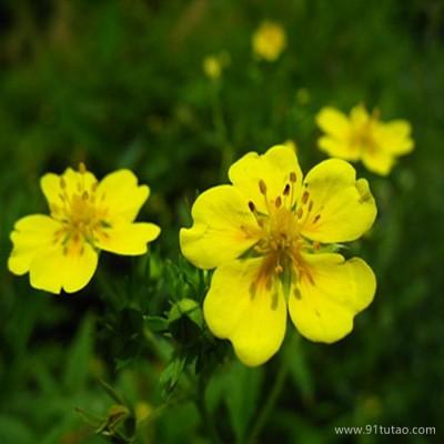 【紫欣雅】委陵菜 观赏植被 观赏花卉合作社
