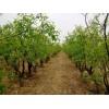 大量供应河北保定绿化枣树、规格齐全、包上车