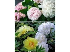 精品观赏芍药、室内芍药盆栽、盆栽芍药