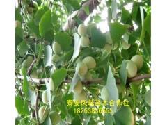 山东凤岐苗木提供园林苗木价格,银杏树小苗价格,绿化苗木。
