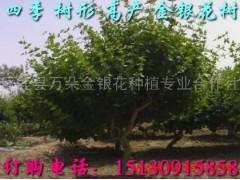 供应苗木大量绿化苗木 金银花
