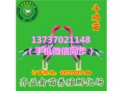 琼山火鸡苗秦香土鸡苗绿壳鸡蛋鸡苗卖出售