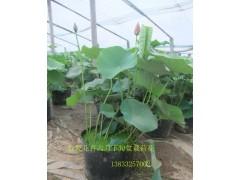专业培育盆栽荷花、景观效果盆栽荷花 盆栽荷花 水生植物盆栽