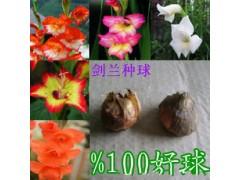 荷兰进口观花种球根 剑兰种球 盆栽花卉菖蒲苗 水培植物盆栽