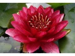 红发水景睡莲育植中心、盆栽睡莲、地栽睡莲