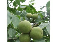 购买树苗量大从优        核桃苗当年结果     盆栽树苗
