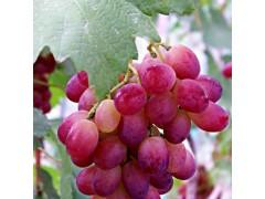 恒发 厂家自销售 新鲜水果  克伦生葡萄 新鲜葡萄 品种齐全