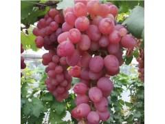 饶阳恒发  代购批发 新鲜水果 颗粒饱满 克伦生葡萄 新鲜葡萄 品种齐全