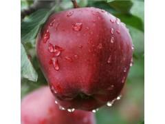 饶阳恒发 代购批发   红苹果 新鲜水果  苹果  新鲜花牛苹果 花牛 品种齐全