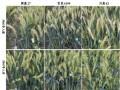 南京农大成功克隆小麦抗赤霉病关键基因