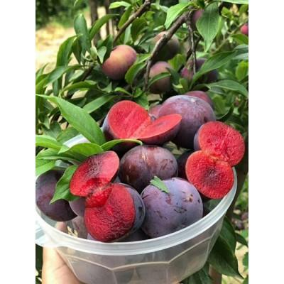 玫瑰红心李子黑布林纯天然新鲜水果(5斤)