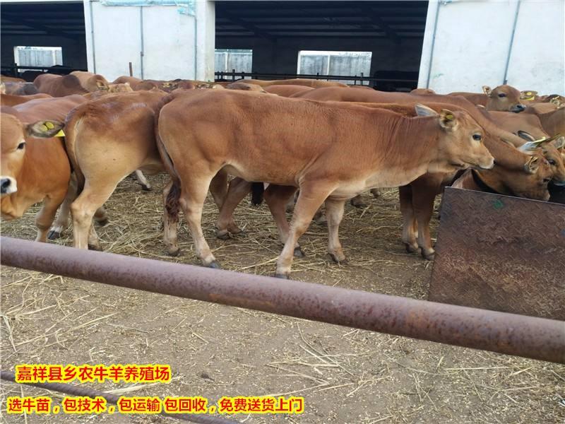 小肉牛犊价格多少钱一头 鲁西黄牛活体价格多少钱一头