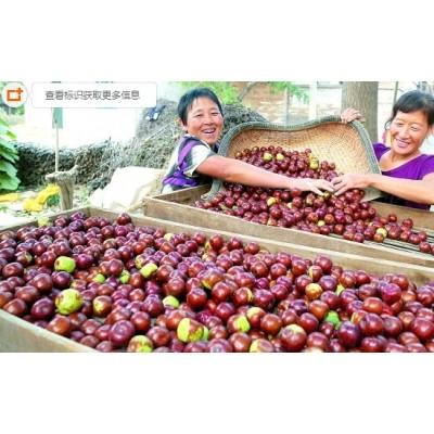 山西芮城枣树行优质鲜红枣产地大批发 质量优价格低 量大从优