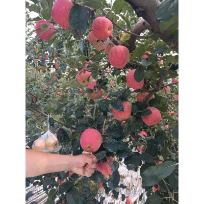 秋色扑帘    苹果红了