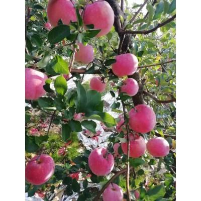 苹果红富士红将军水果现摘现卖鲜果批发包邮孕妇糖心