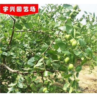枣树苗直销 优质嫁接沾化冬枣 梨枣枣树苗品种齐全成活率高