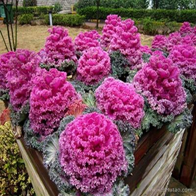 【紫欣雅】羽衣甘蓝 观赏花卉 专业合作社 直销 养植