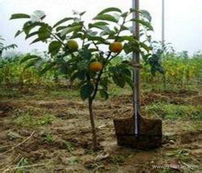 红梨苗现货、西藏梨苗出售厂家