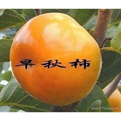 梨苗新品种、广西梨苗培育基地高产