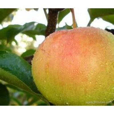 梨苗厂家、江西红香酥梨树苗价格